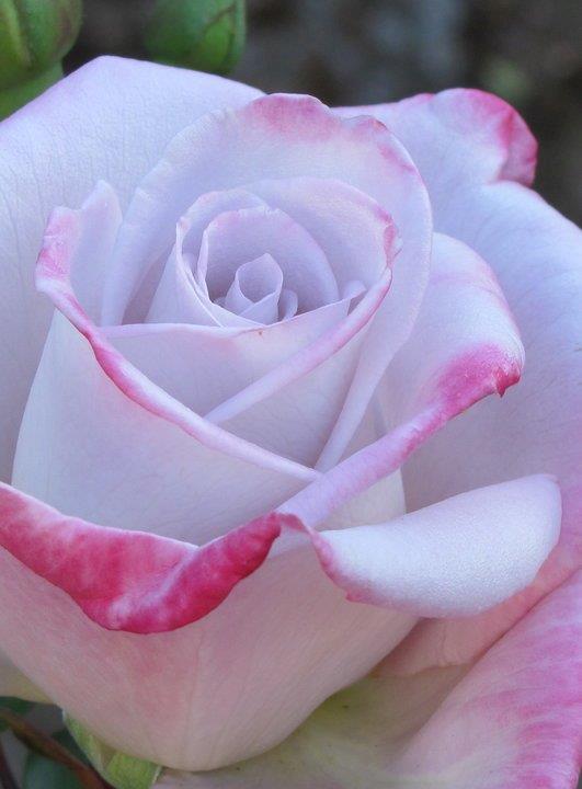 Lakeside Garden Club Roses From Member Gardens
